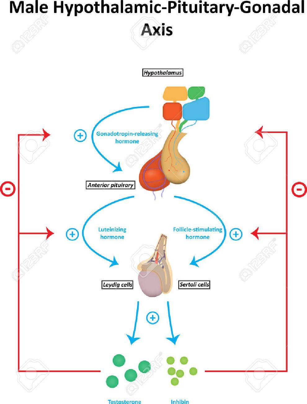 Hombre Hipotalámico Hipofisario Gonadal Eje Diagrama Ilustraciones ...