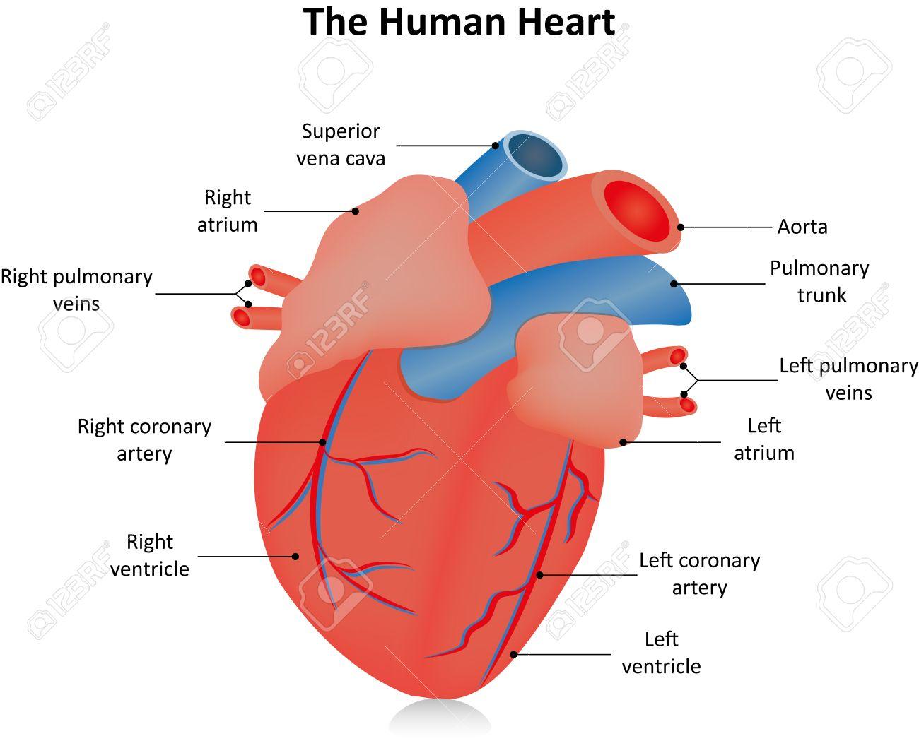 Corazón Anatómico Etiquetada Ilustraciones Vectoriales, Clip Art ...