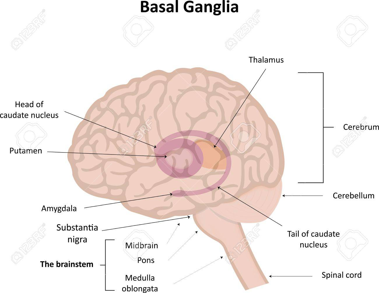 Basal Ganglia In Brain Royalty Free Cliparts, Vectors, And Stock ...
