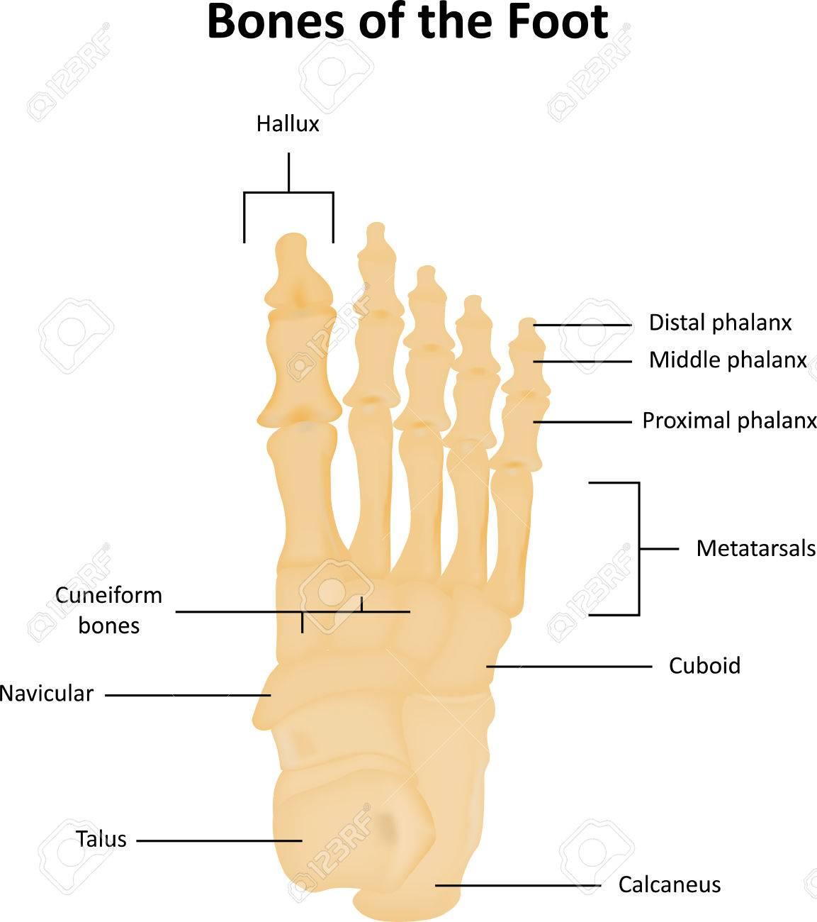 Huesos Del Tarso Del Pie Anatómico Ilustraciones Vectoriales, Clip ...