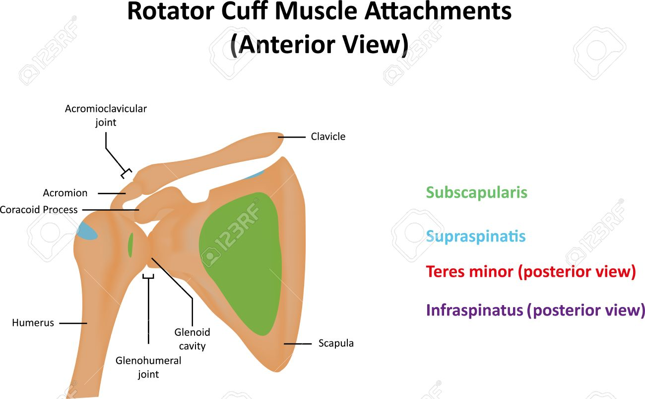 Rotator Cuff Muscle Attachment Sites Stock Photo, Picture And ...