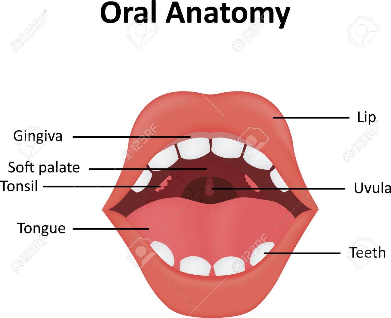 Anatomía Oral Ilustraciones Vectoriales, Clip Art Vectorizado Libre ...
