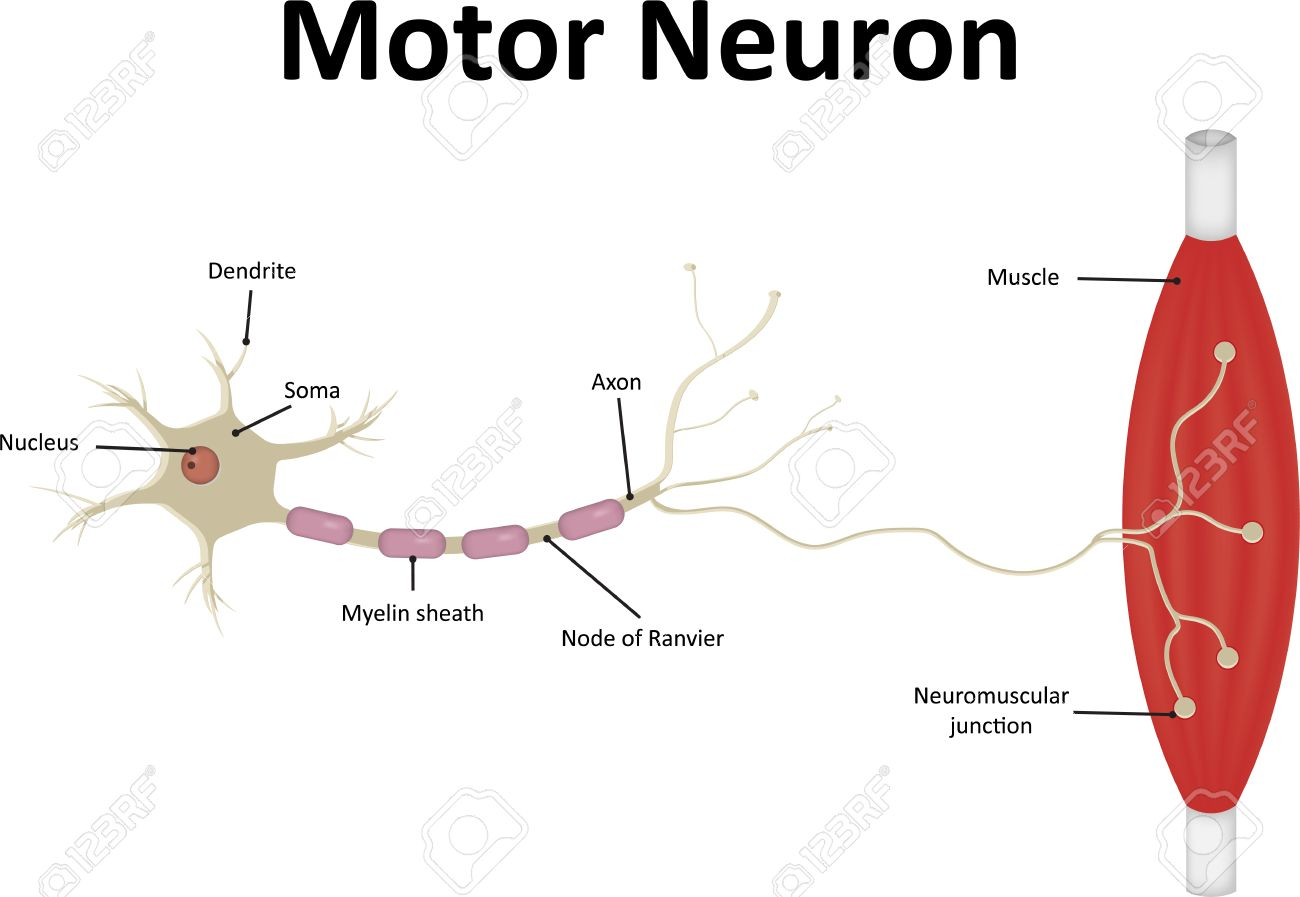 Motor Neurone Labeled Royalty Free Cliparts, Vectors, And Stock ...