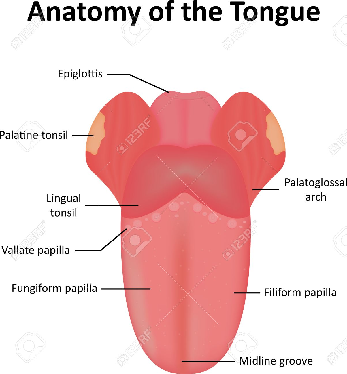 Anatomy Of The Tongue And Associated Features Stock Photo, Picture ...