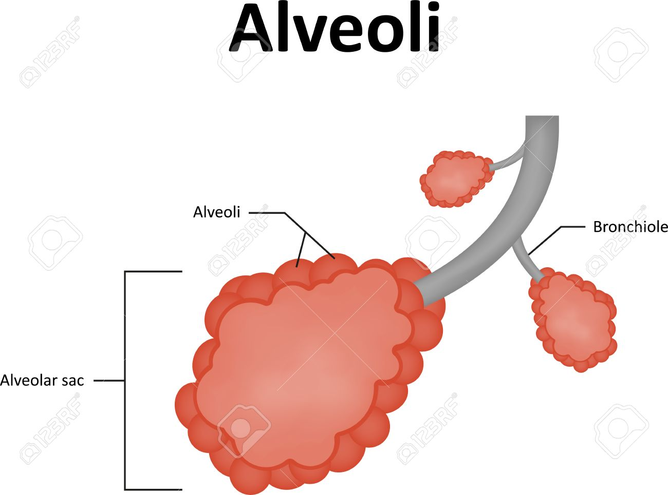 Alveolus Diagram Labelled Wiring Diagram News