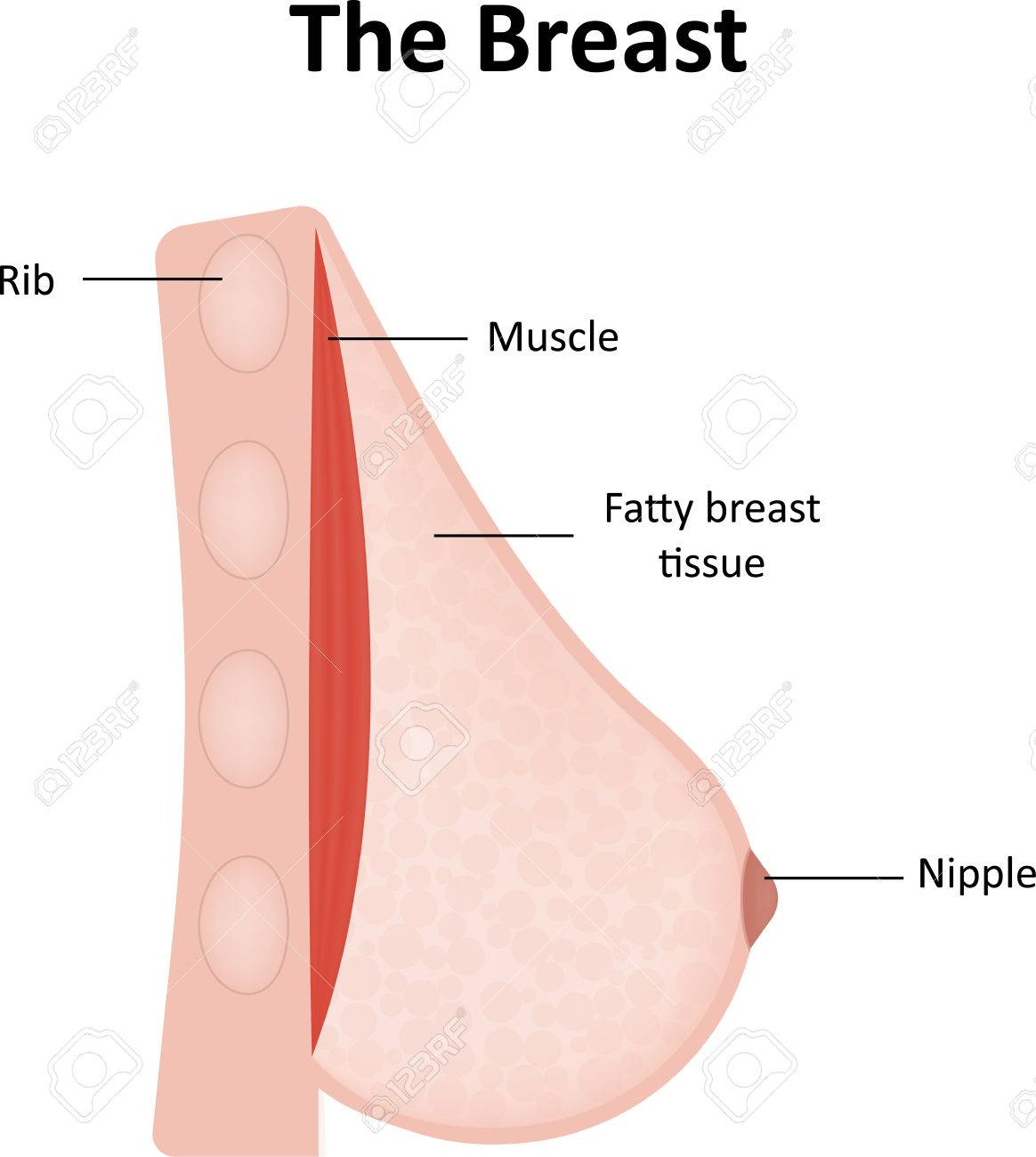 The Breast Labeled Diagram Stock Photo Picture And Royalty Free