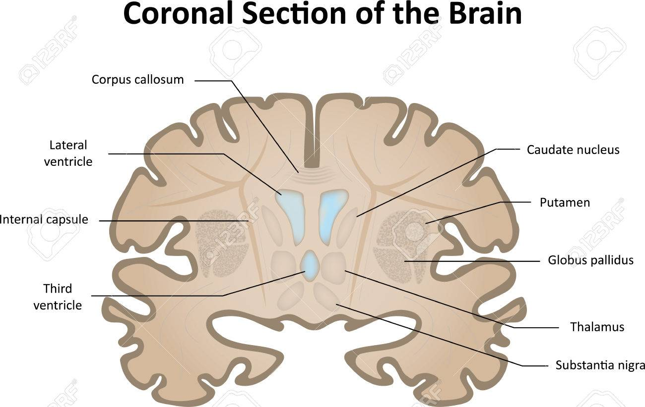 Coronal Section Of The Brain Stock Photo, Picture And Royalty Free ...