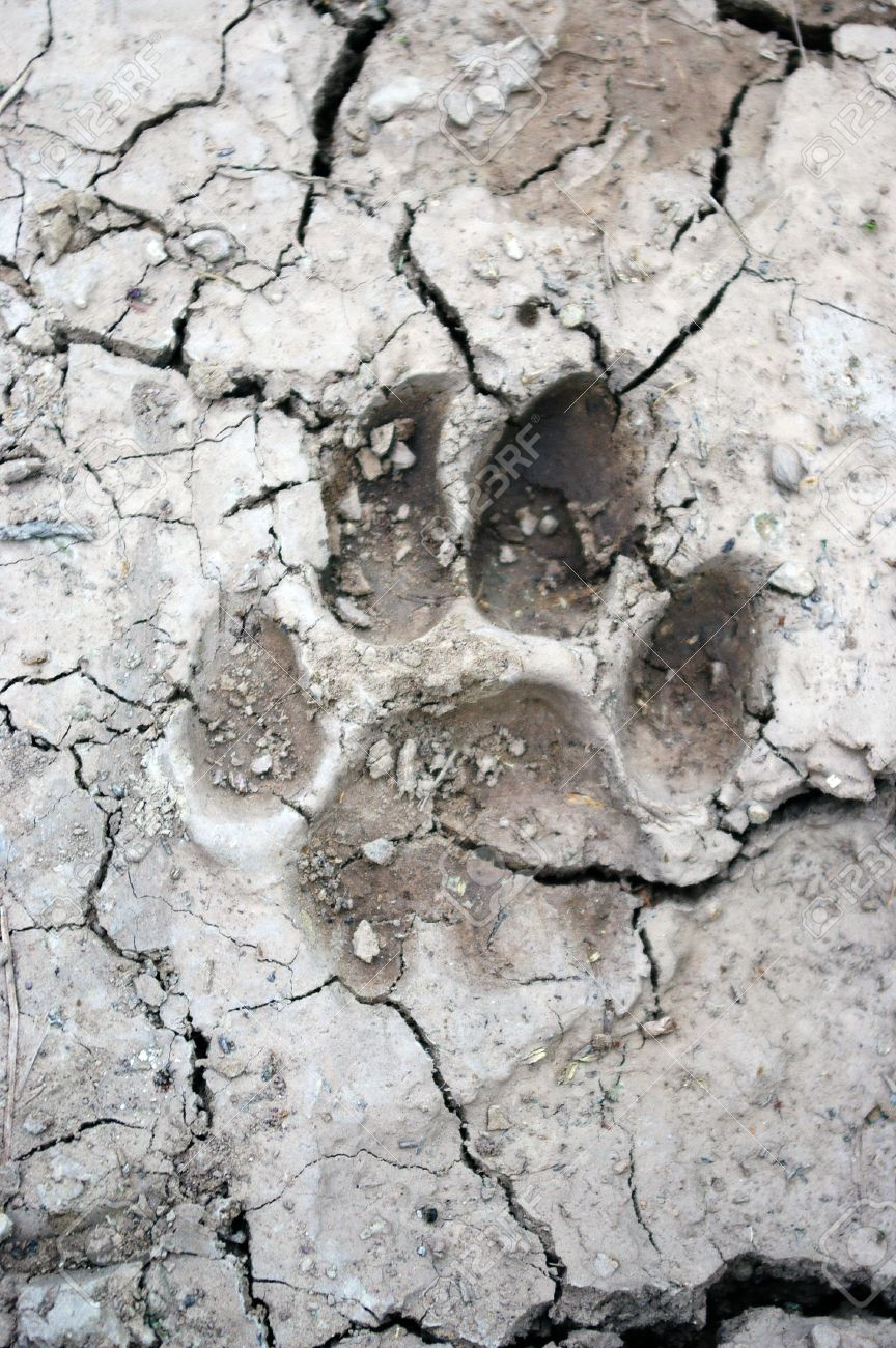 mountain lion tracks in mud stock photo picture and royalty free