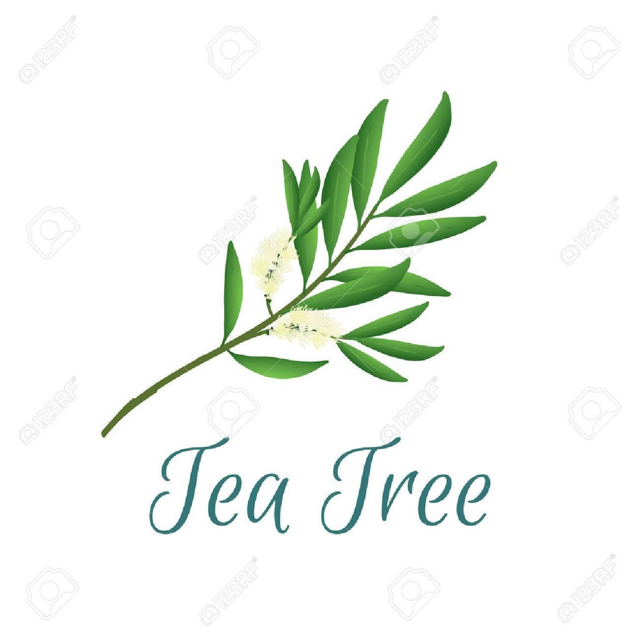 illustration with tea tree, also named like Malaleuca alternifolia, used in aromatherapy and medicine - 65473899