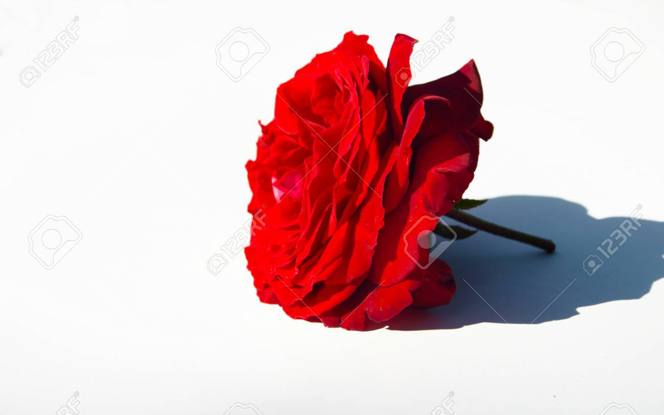 Beautiful Red Rose Isolated On White. Perfect For Background.. Stock ...