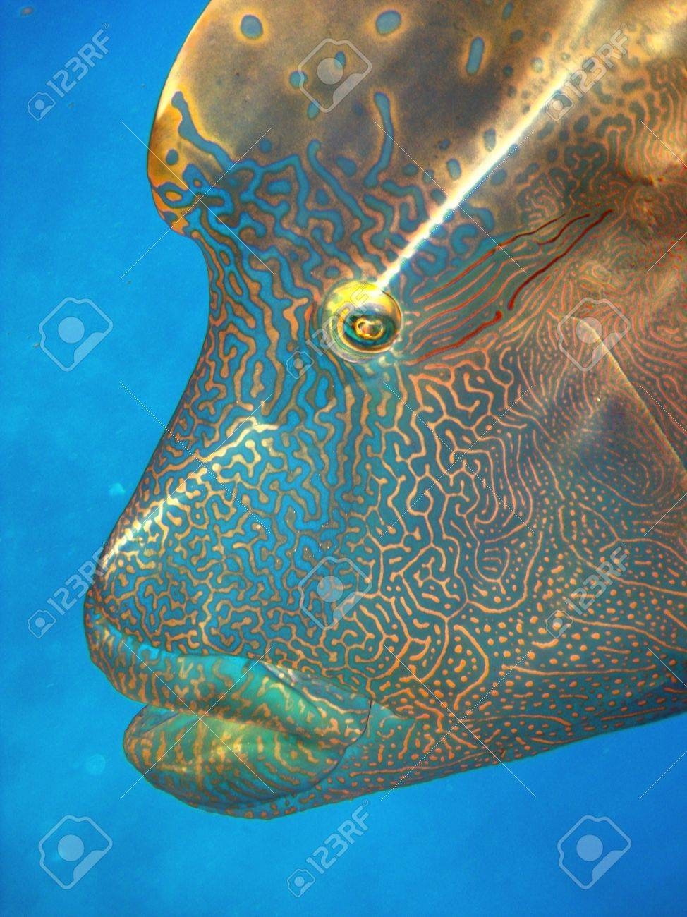 Humphead Maori Wrasse Face on the Great Barrier Reef, Queensland, Australia Stock Photo - 7105936