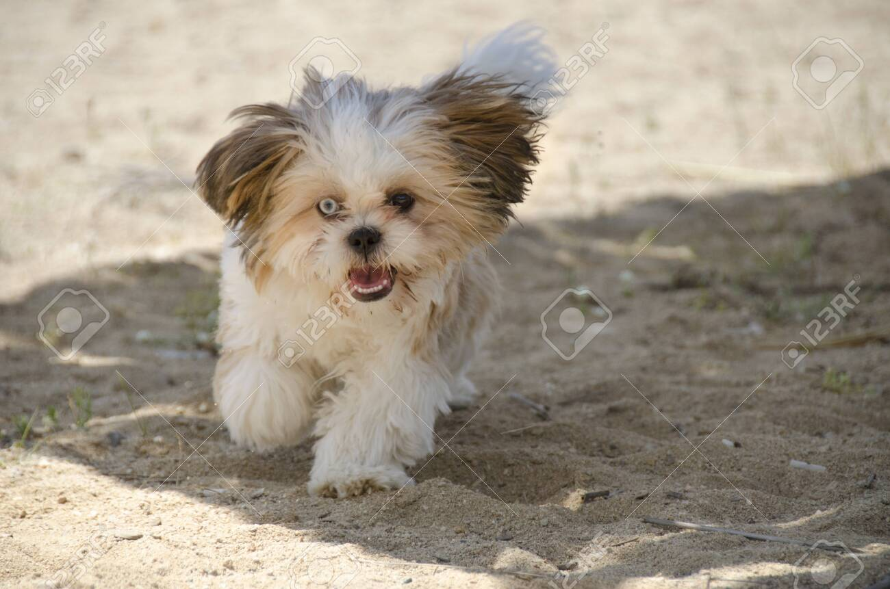 Shih Tzu Puppy Shih Tzu Dog Breed Stock Photo Picture And Royalty Free Image Image 138632956