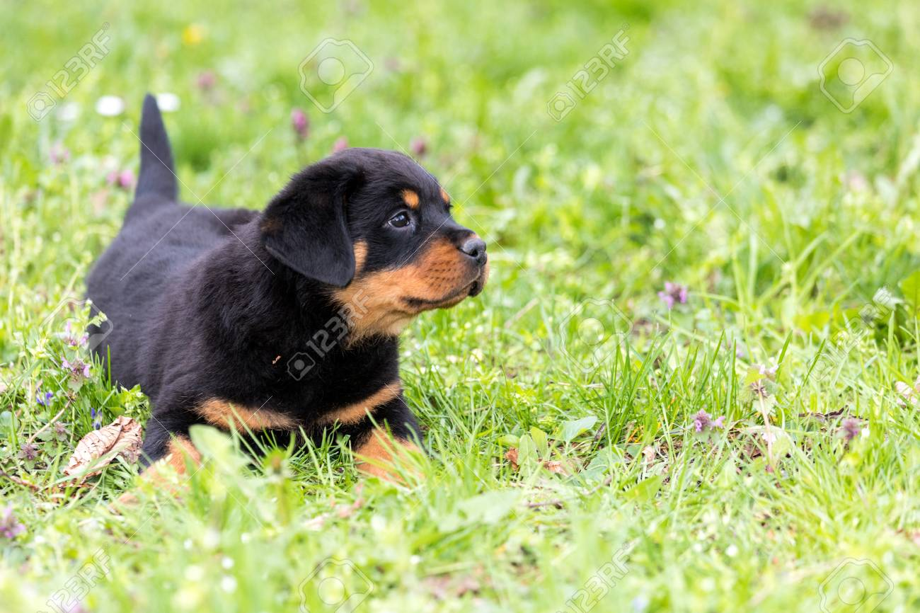 Cute Rottweiler Puppy Playing Outdoors In A Sunny Summer Day Stock