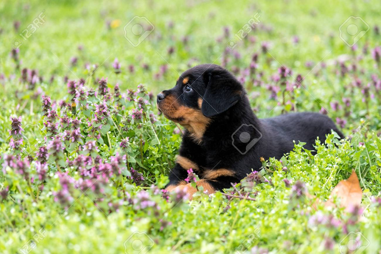 Cute Rottweiler Puppy Lying On The Lawn Outdoors Stock Photo
