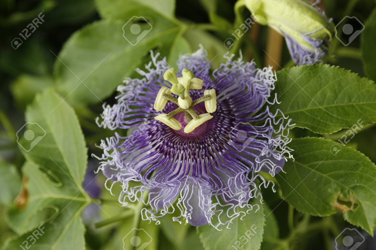 Close Up Of Blue Passion Flower Stock Photo Picture And Royalty