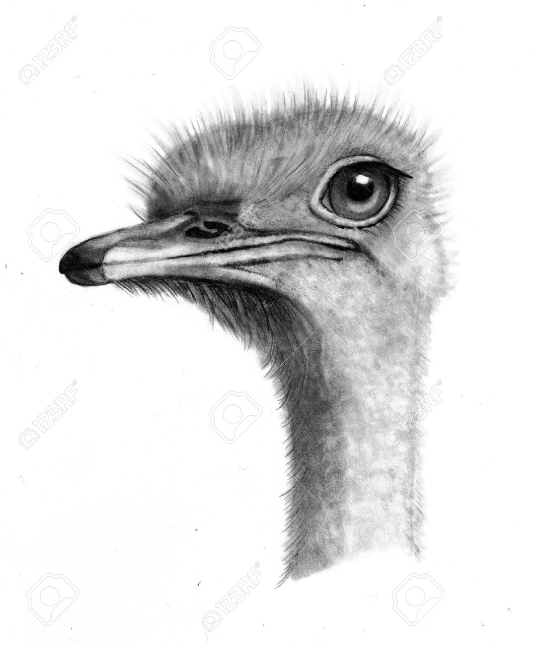 pencil drawing of an ostrich head stock photo picture and royalty