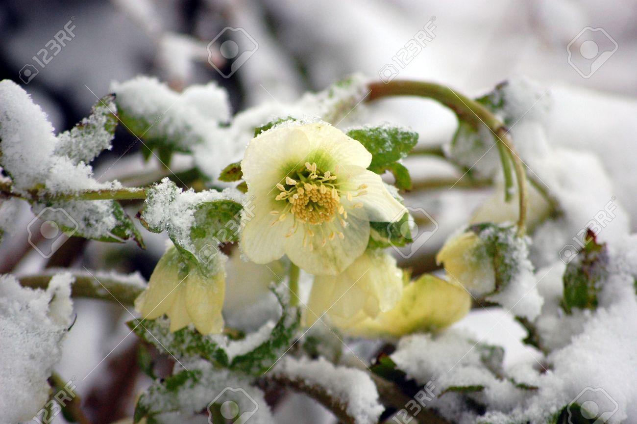 white hellebore fleur, autrement connu sous le nom de rose de noël