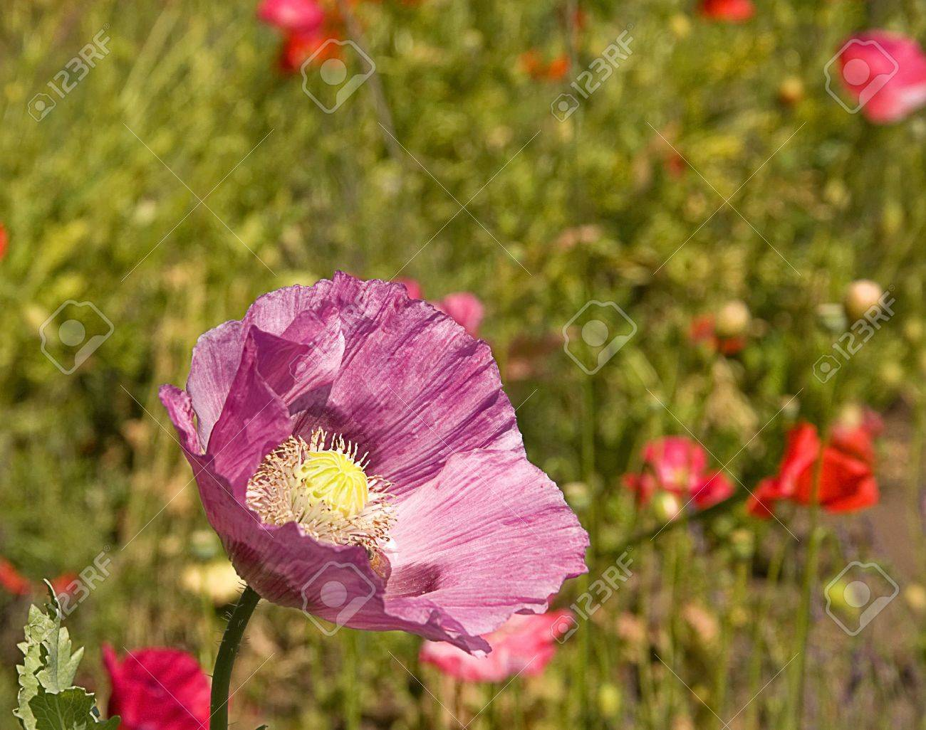 This Photo Features A Purple Colored Poppy With Its Paper Like