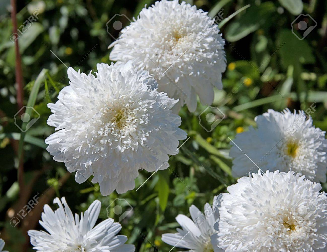 This shot is double full white daisies that look like big white stock photo this shot is double full white daisies that look like big white fluffy pompoms izmirmasajfo