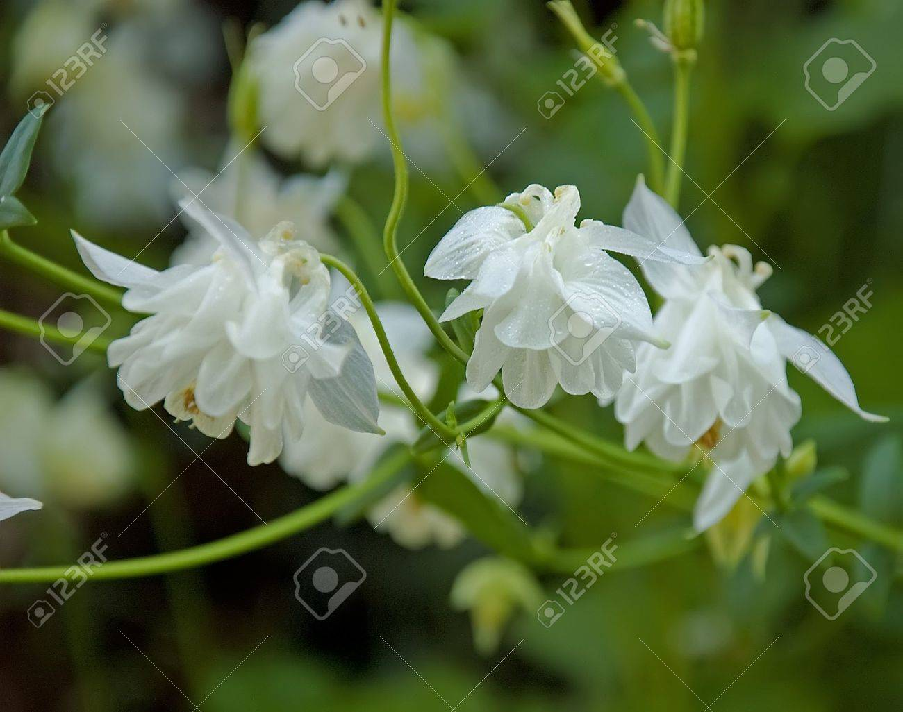 this floral photo shows double white columbine flowers with the, Beautiful flower