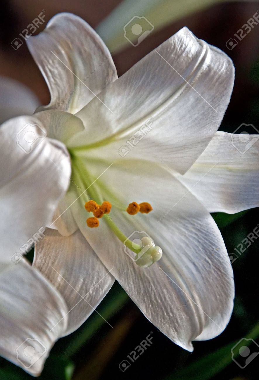 This beautiful white easter lily flower is a macro closeup shot stock photo this beautiful white easter lily flower is a macro closeup shot with the background blurred in a vertical orientation izmirmasajfo