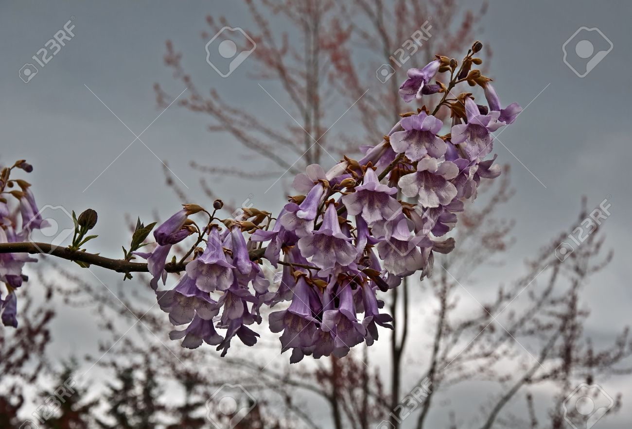 This Rare Foxglove Tree Paulownia Tomentosa Is In Full Bloom