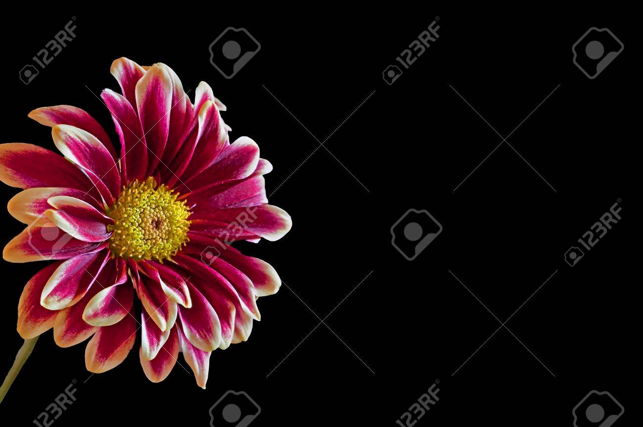 This dramatic flower image is a white edged burgundy colored stock stock photo this dramatic flower image is a white edged burgundy colored dahlia flower isolated on a black background with plenty of room for text izmirmasajfo Gallery