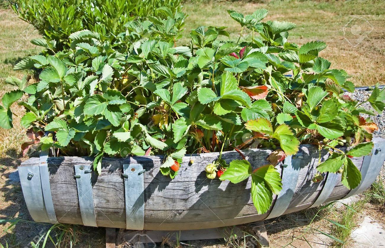 Demi Tonneau En Bois ce jardin contenant créative est fraisiers dans un demi-tonneau en bois et  métal