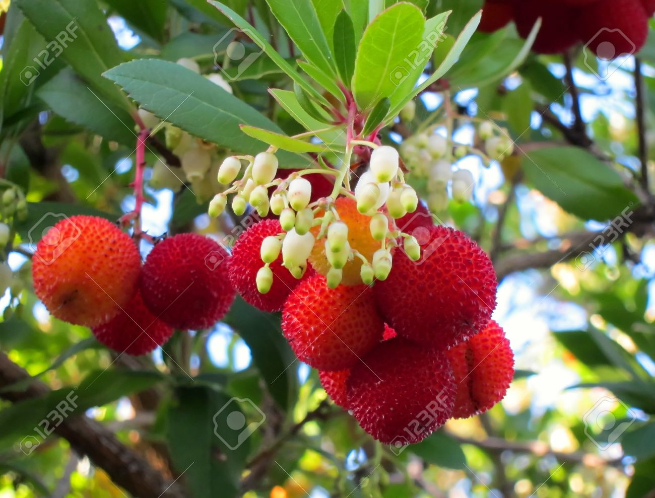 Fruit Tree Flowers Part - 24: Here Is The Red Fruit And Small White Bell Shaped Flowers Of The Kousa  Dogwood Tree