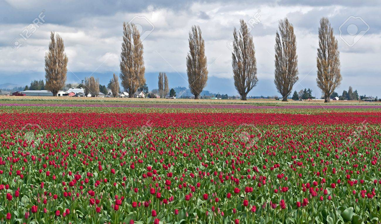 This rural landscape is a field of red spring tuliips on a stormy day   Popular trees in a line are in the background, taken of Skagit County, WA Stock Photo - 18121331