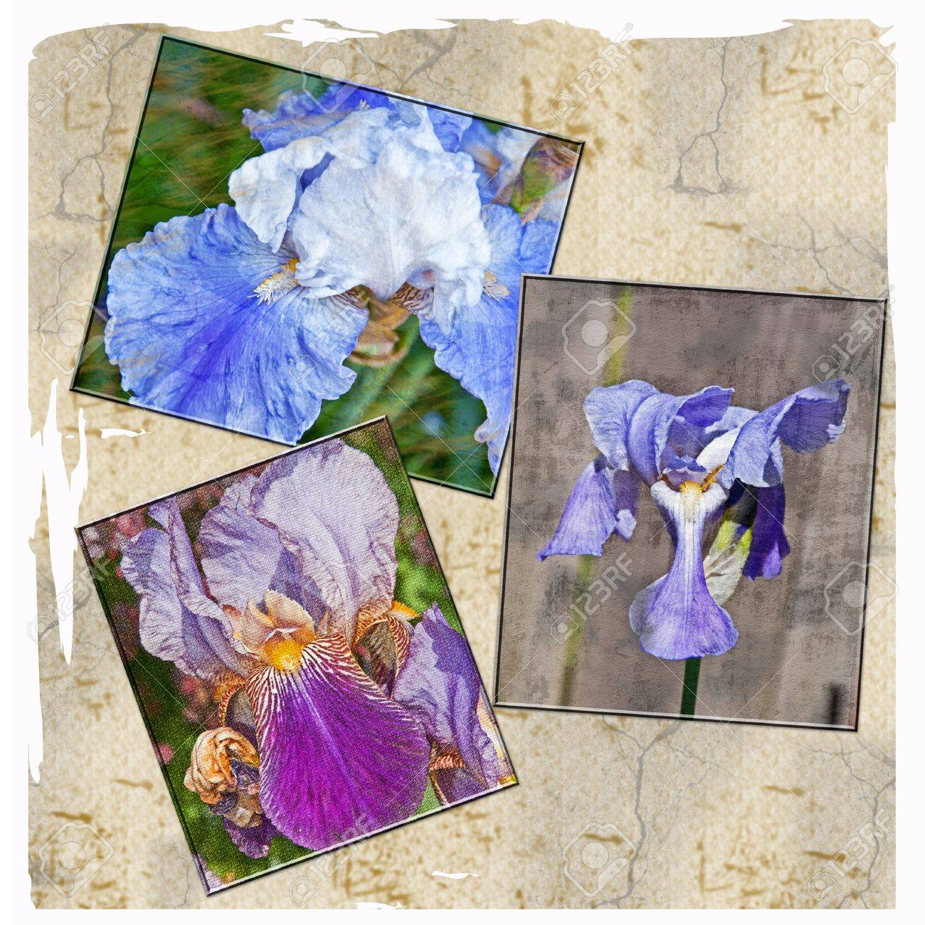 This Is A Collage Of Textured Iris Flowers Bearded And Japanese