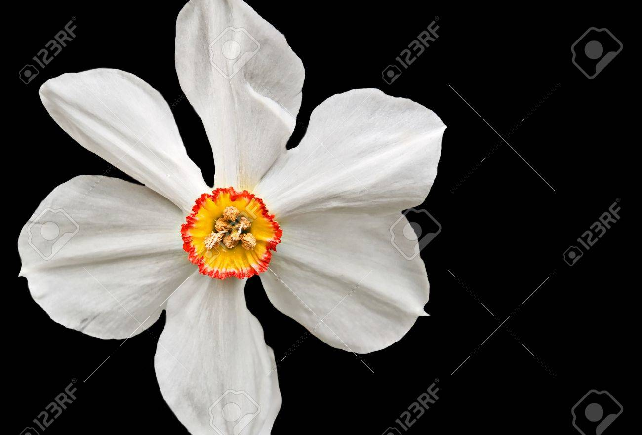 This is a closeup is a white daffodil flower with a yellow center stock photo this is a closeup is a white daffodil flower with a yellow center and a red ring around it situated on a black background with room for text mightylinksfo