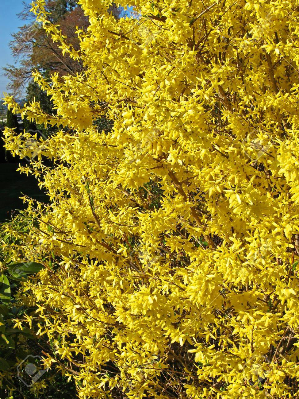 This is an early spring shrub in full bloom with its bright this is an early spring shrub in full bloom with its bright yellow flowers dhlflorist Gallery