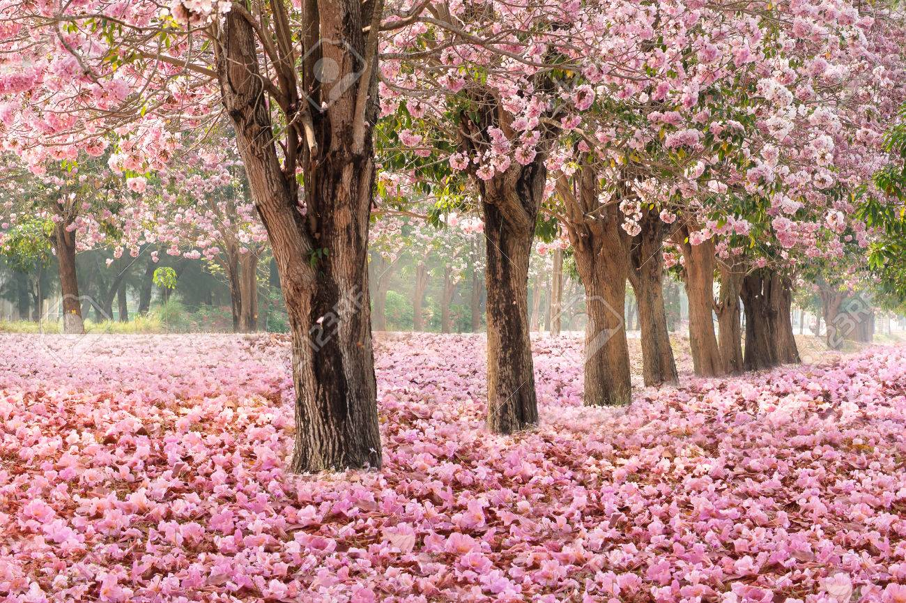 Falling petal over the romantic tunnel of pink flower trees falling petal over the romantic tunnel of pink flower trees romantic blossom tree over nature mightylinksfo Gallery