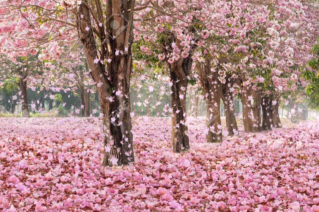 Petale Tombante Sur Le Tunnel Romantique Des Arbres De Fleurs Roses