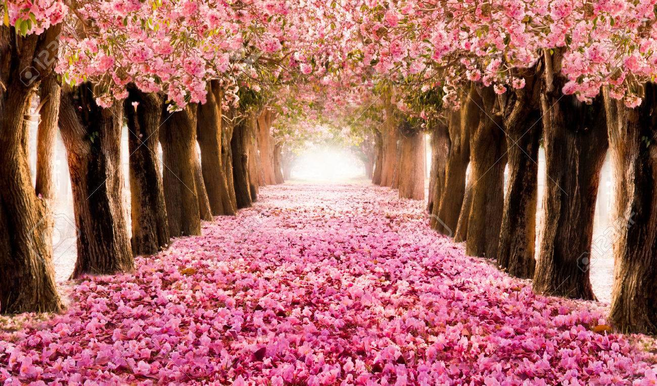 Falling petal over the romantic tunnel of pink flower trees falling petal over the romantic tunnel of pink flower trees romantic blossom tree over nature mightylinksfo