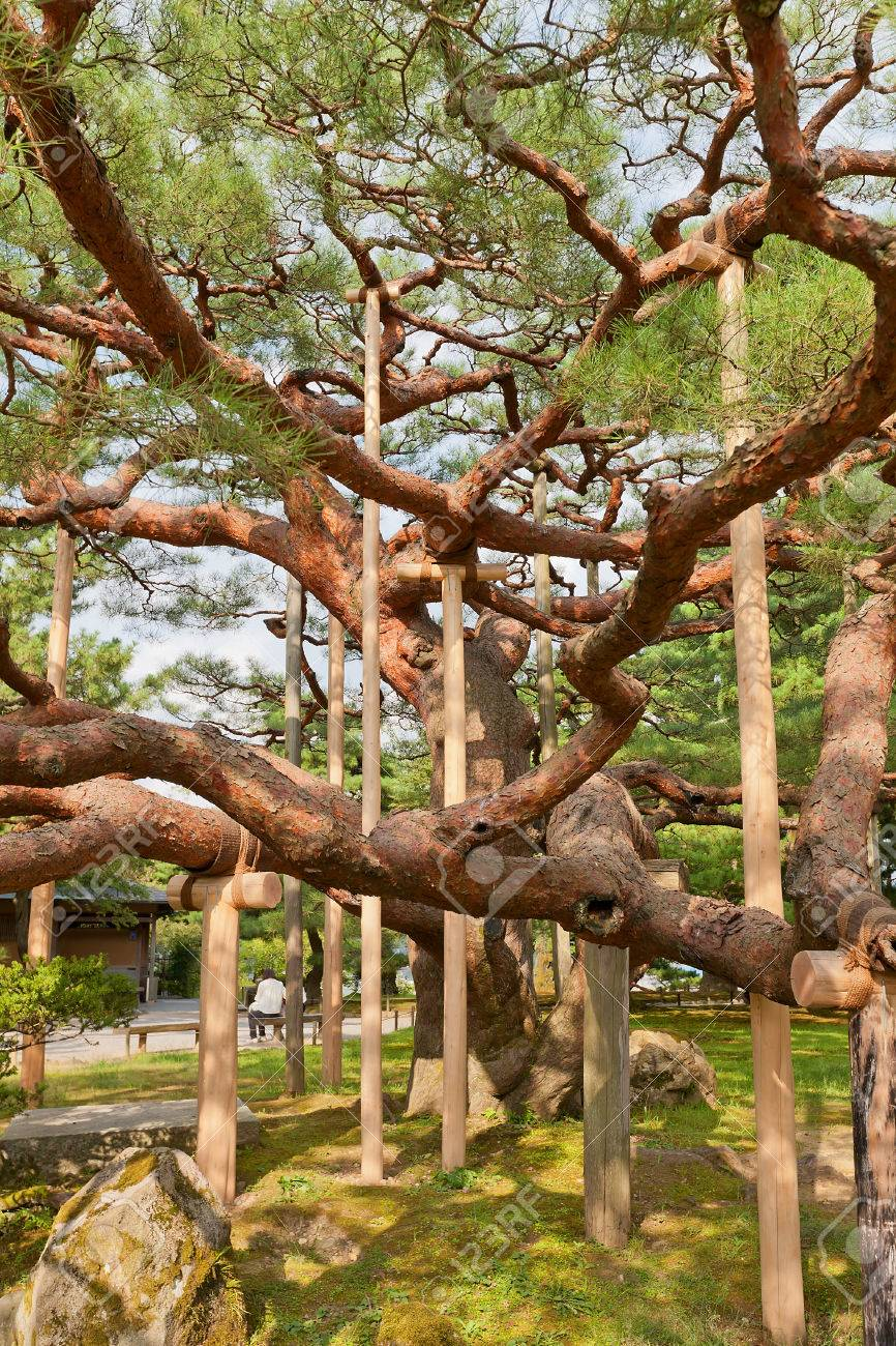 KANAZAWA, JAPAN - AUGUST 03, 2016: Old Pine Tree With Supporting ...