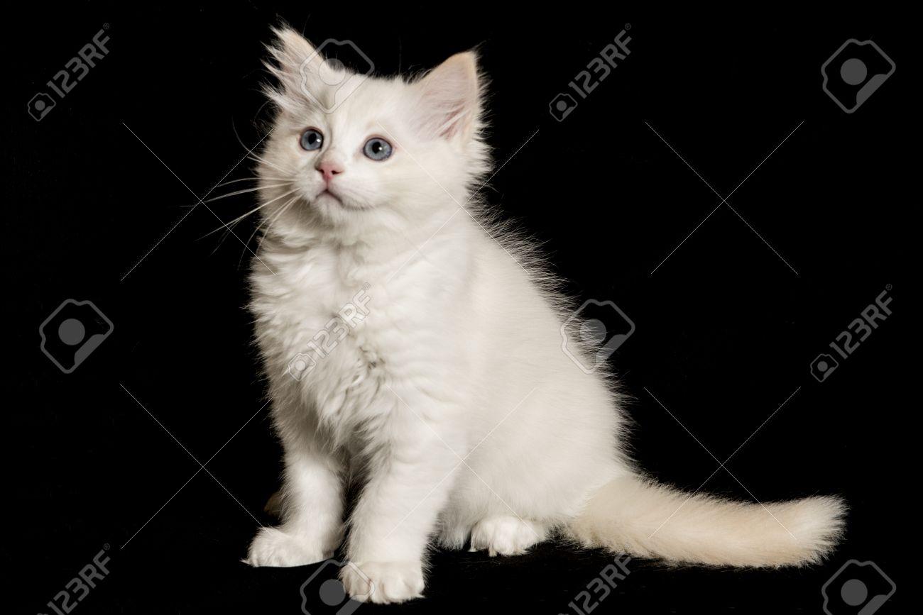 Ragdoll cat 6 months