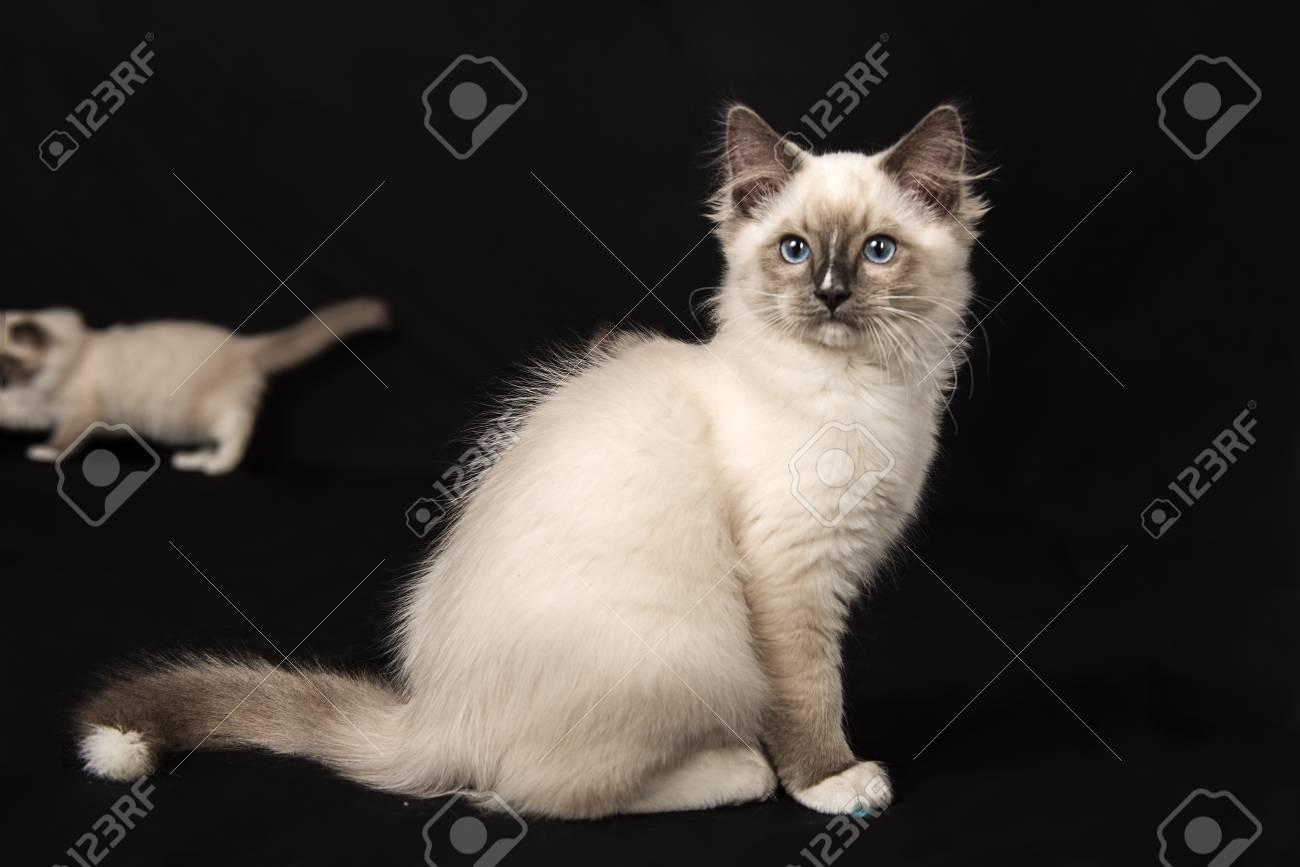 cutest ragdoll kittens stock photo picture and royalty free image