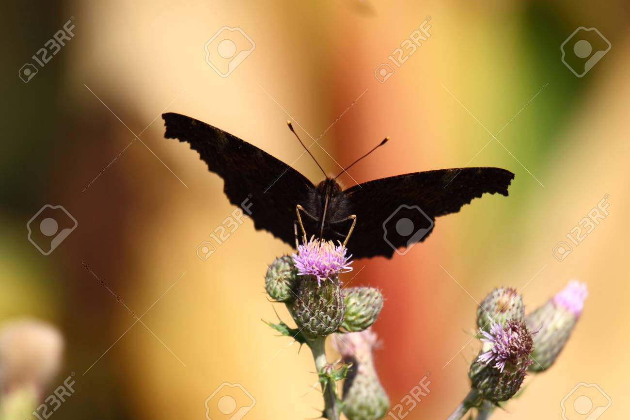 Butterfly inachis, Paon du jour, peacock Stock Photo - 9108463