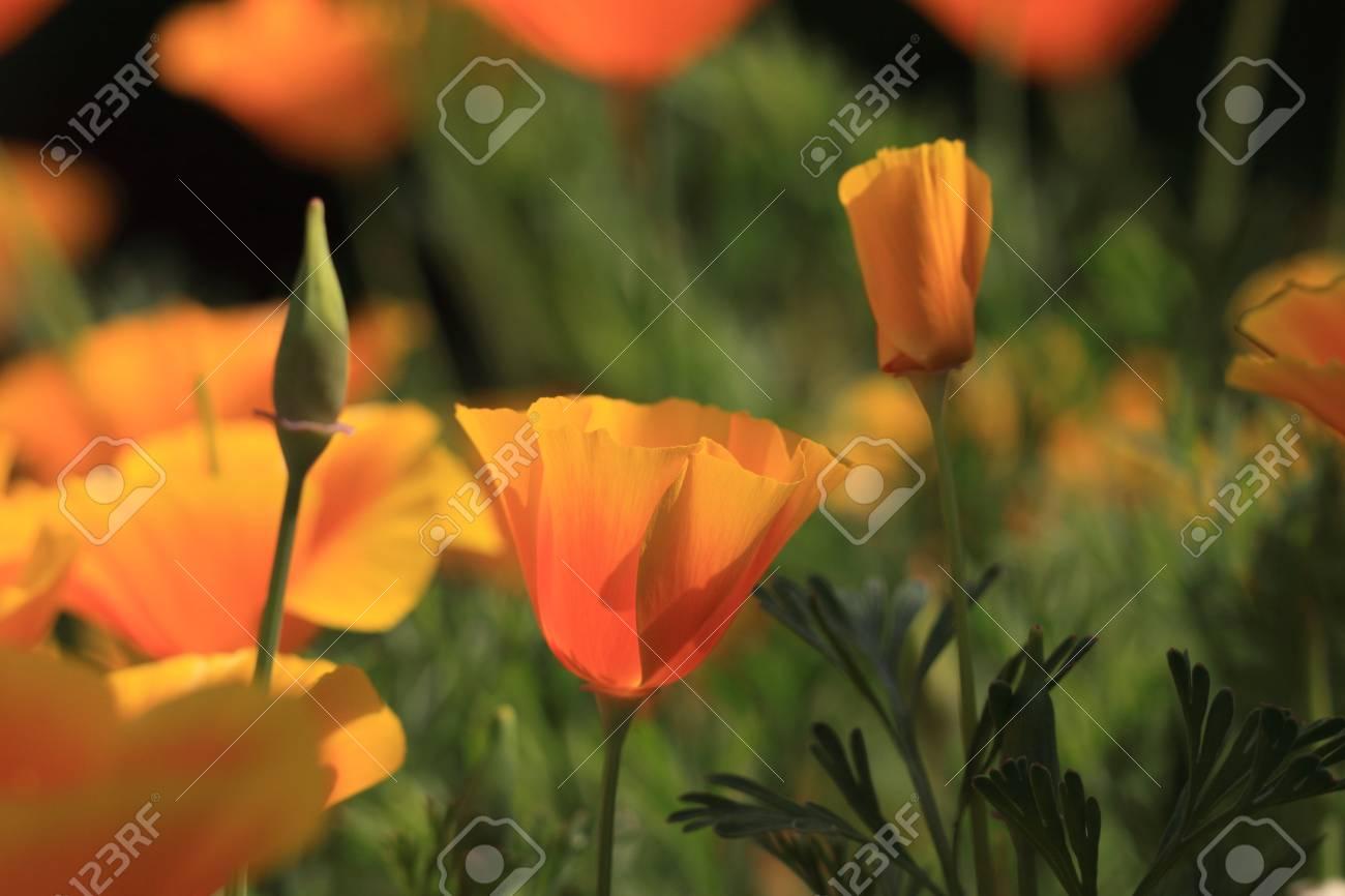 Eschscholtzia of California, california poppy Stock Photo - 9552781