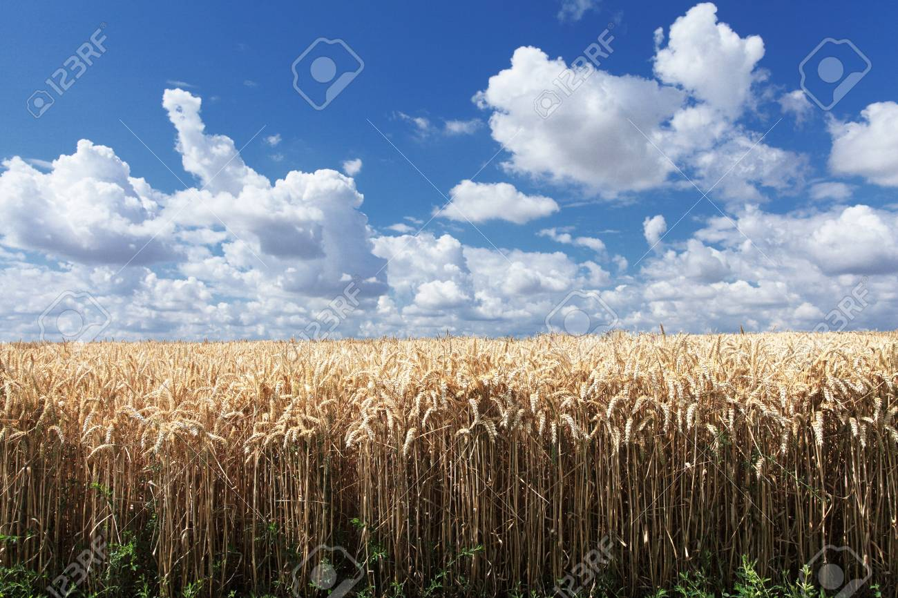wheat fields under the sun in the summer before harvest Stock Photo - 14538379