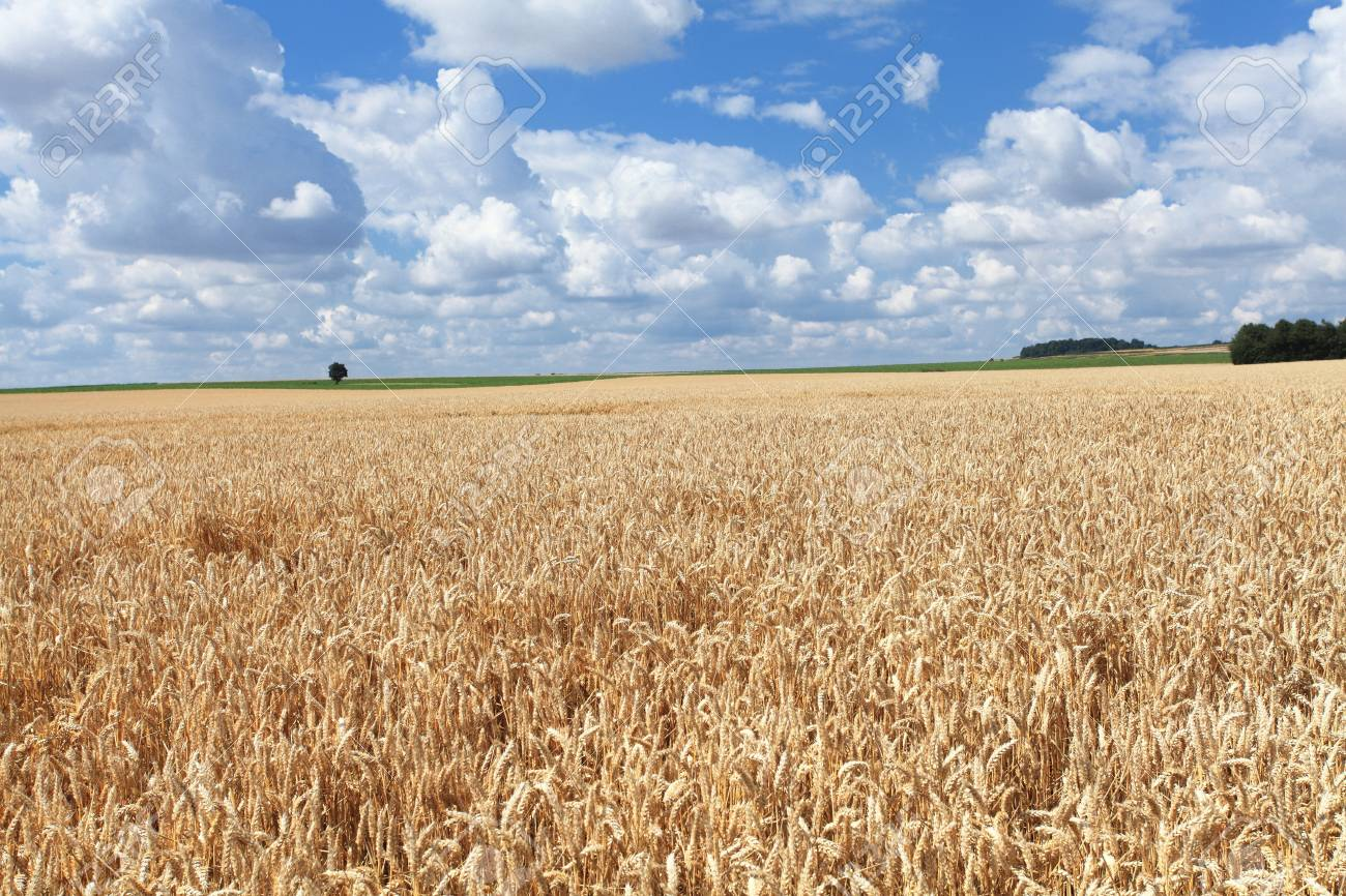 wheat fields under the sun in the summer before harvest Stock Photo - 14538335