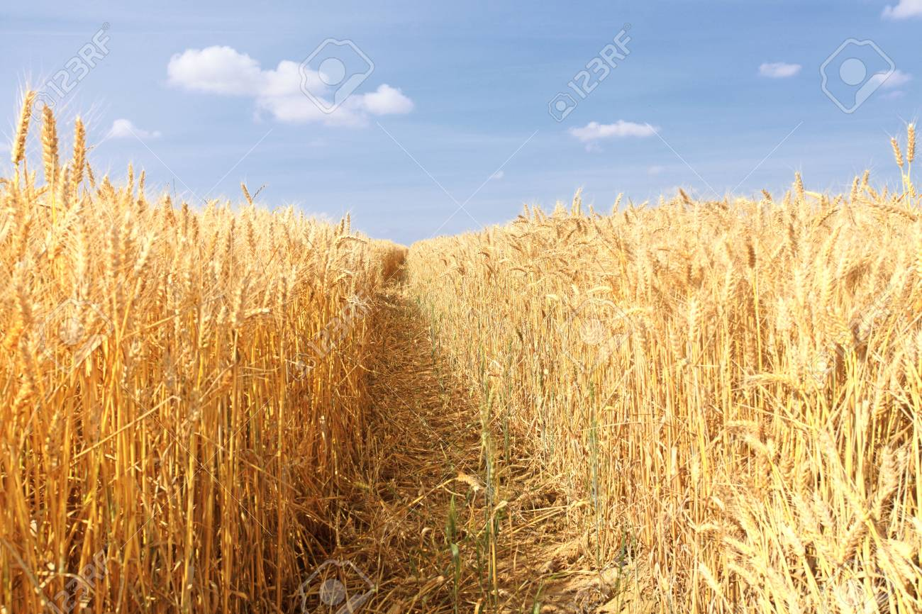 wheat fields under the sun in the summer before harvest Stock Photo - 14585151