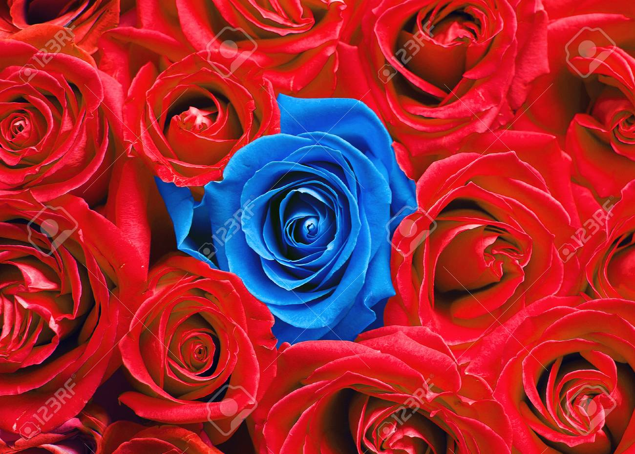 Blue rose among red ones. - 78331268
