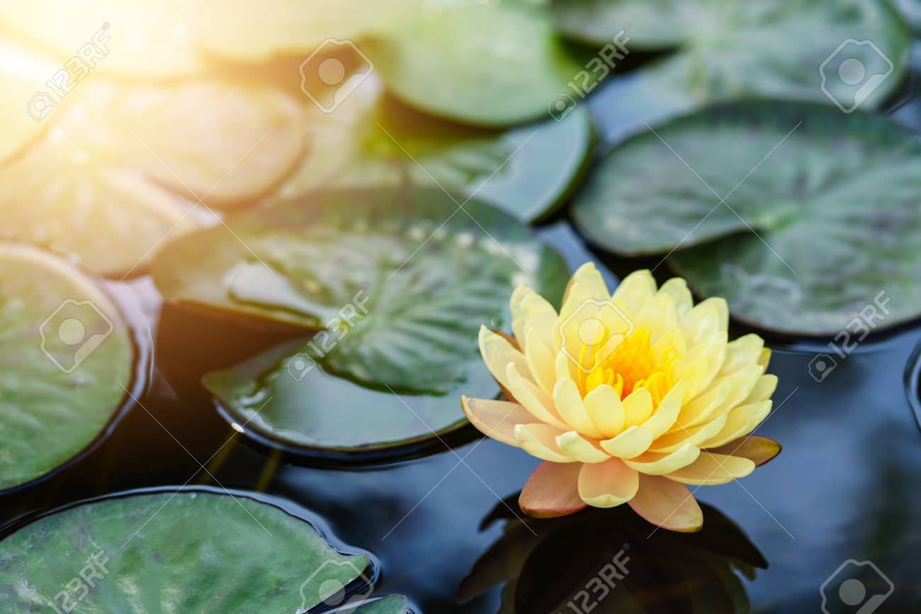 Yellow Lotus Flower Floating On Water Stock Photo Picture And
