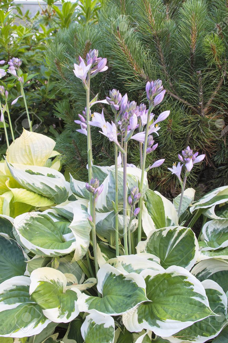 Hostas with Flower Blooming with Variegated Leaves in Springtime Stock Photo - 14518321