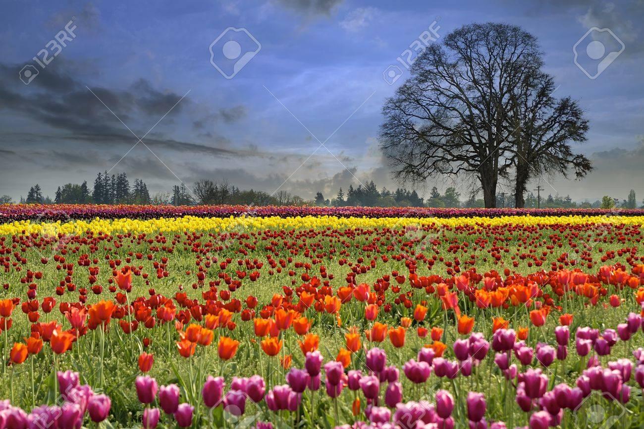 colorful tulip flowers blooming in tulips field at spring season