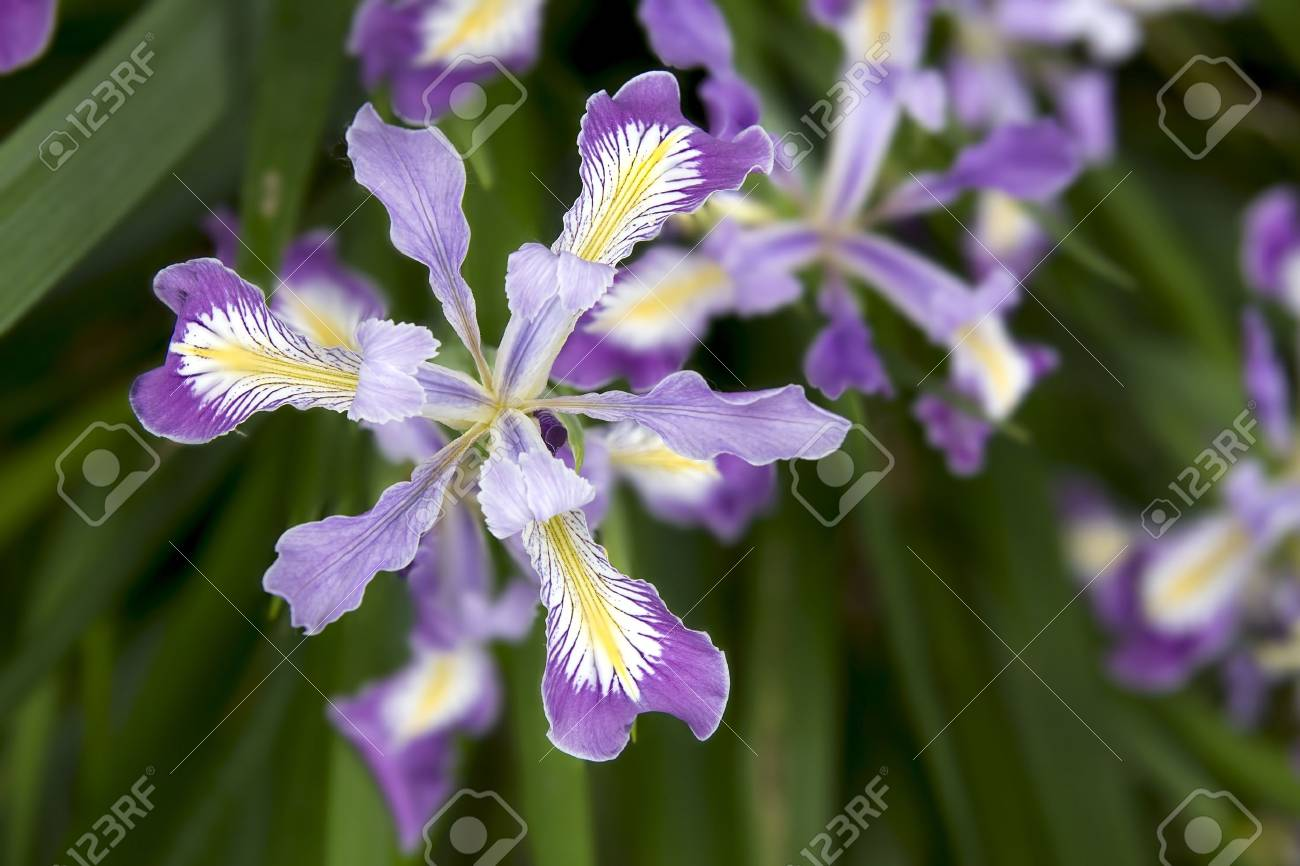 Oregon Iris Flowers Blooming In Spring Season Closeup Macro Stock