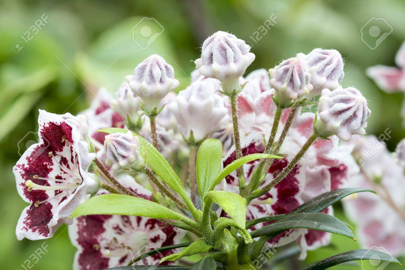 Mountain Laurel Flowers and Buds Minuet Blooming with new green leaves in Spring Closeup Macro Stock Photo - 19707403